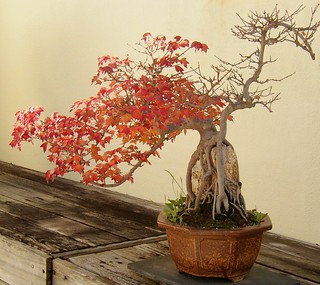 Bonsai Trident Maple | by Cowtools