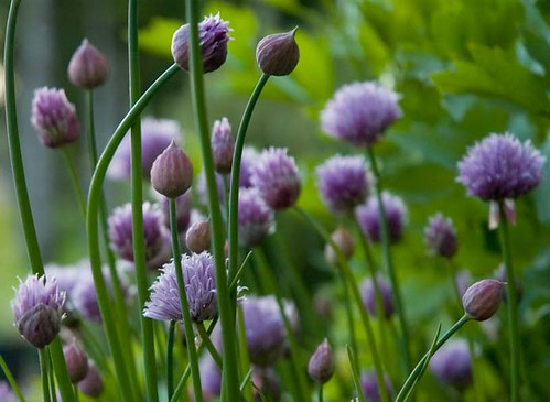 chives01 | by kitchenmage