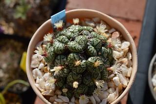 DSC_4688 Conophytum ursprungianum  コノフィツム 藤原阿嬌