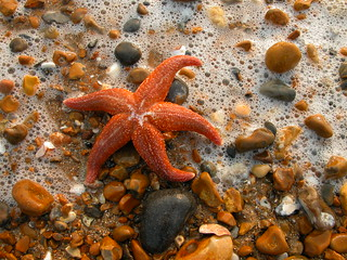 Starfish in Surf | by annabels