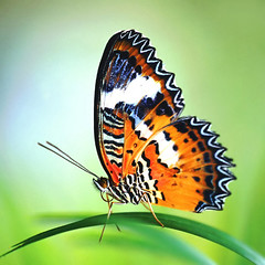 Malay Lacewing | by B_cool