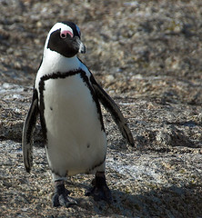 Jackass Penguin - Boulders | by Ian Junor