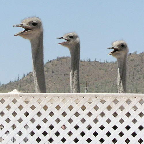 Peeking Ostriches | by janinewhite