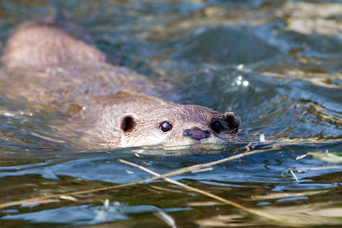 Swimming Otter | by Keith Marshall