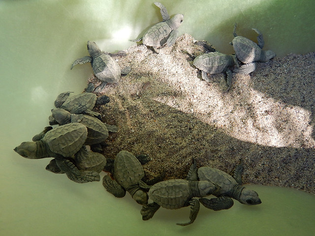 Baby turtles born on Los Muertos Beach in Puerto Vallarta on Mexico's Pacific coast