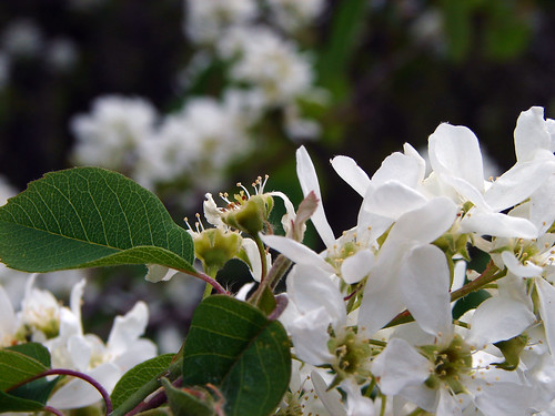 Juneberry blossoms | by aurorasoul