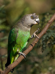 Brown-headed Parrot (Poicephalus cryptoxanthus) | by Nature Photographer