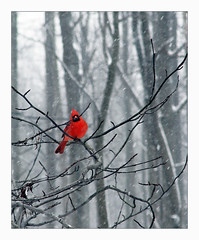 Cardinal In Winter | by littleREDelf