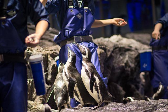 すみだ水族館のペンギンのごはんタイムの写真