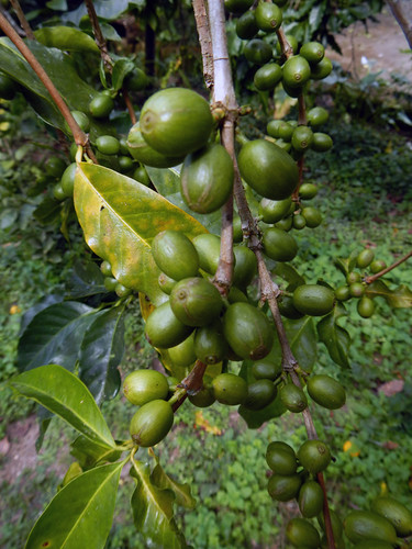 Organic coffee beans grown in an orchard in San Sebastian, Mexico