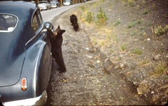 Black Bear and Antique Car | by avaloncm