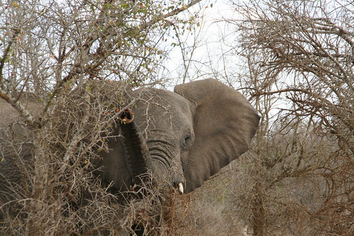 Elephant sniffing for us