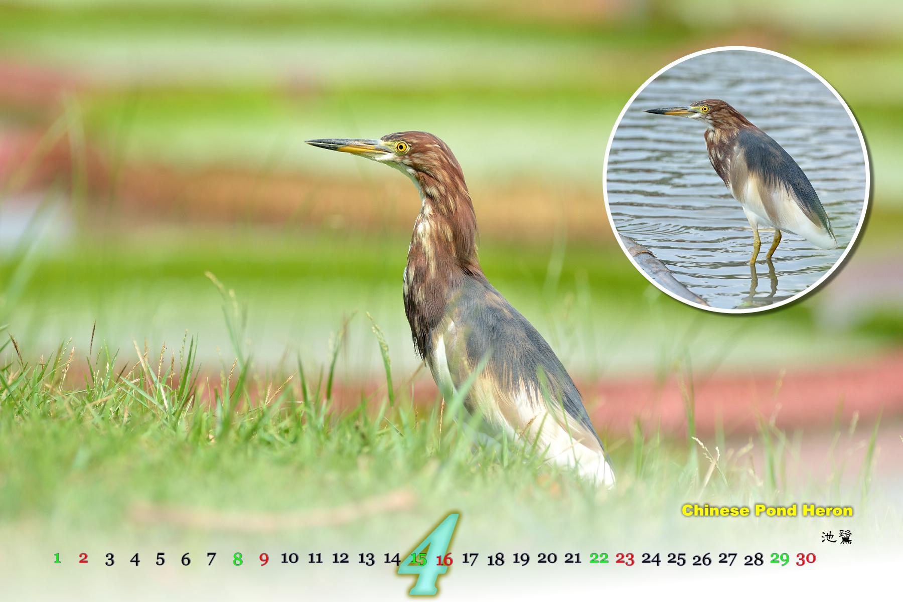 Thai Bird Calendar 2017_04