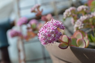DSC_0033 Sedum sieboldii (=Hylotelephium sieboldii) ミセバヤ