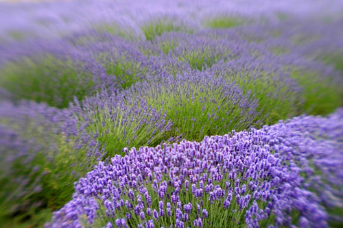 Lavender - available for license from getty | by kathyv