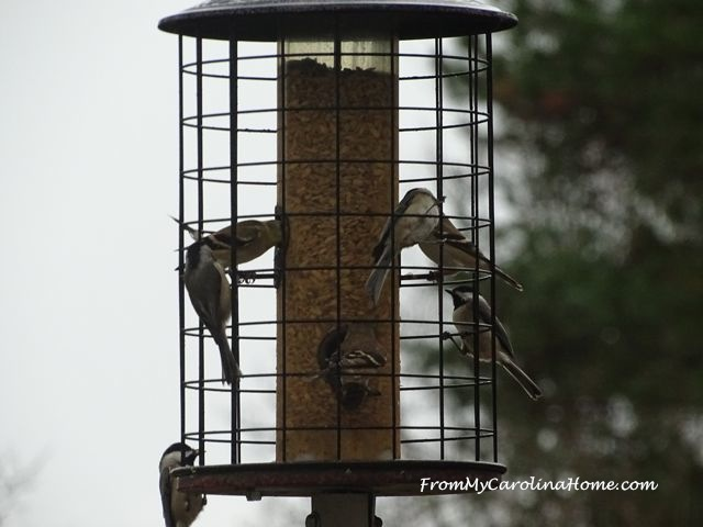 December Bird visitors 4
