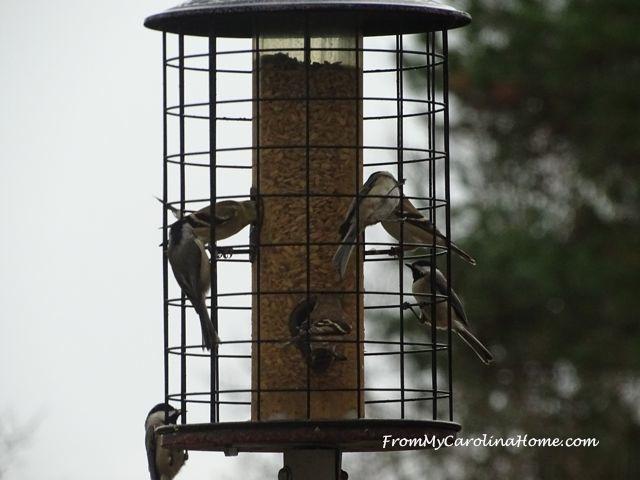 December Bird visitors 4