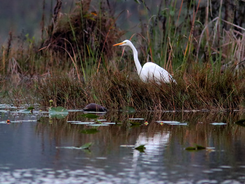 Great Egret HDR 20161208