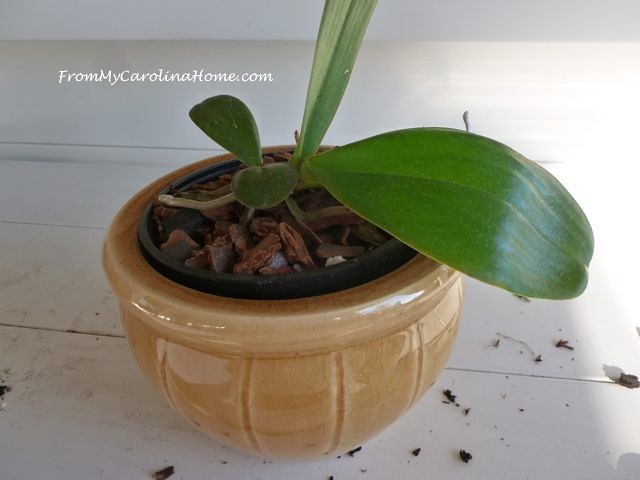 Orchid repotting 8