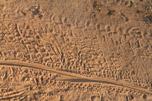 Crocodile tracks on the road, apparently the croc relocated from one watering hole to another