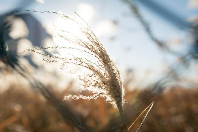 陽の光を浴びるススキの写真