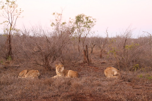Lions just waking up