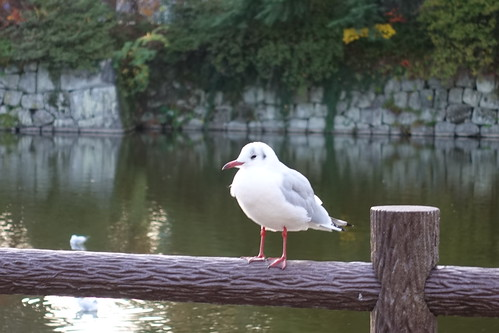 seagull at Odawara castle moat