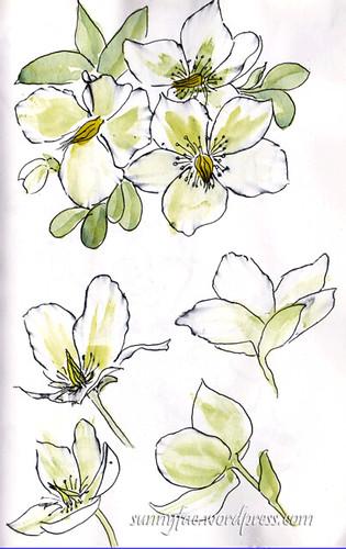 Christmas rose sketch 3