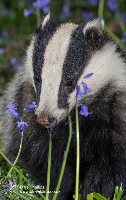 15 badger