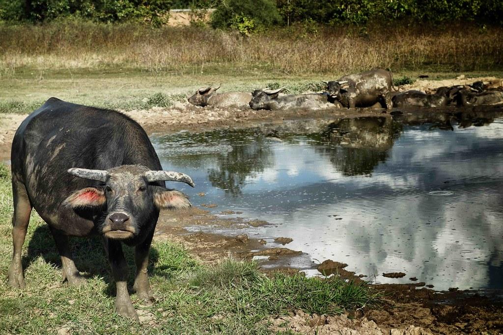 Boucle Thakhek Scooter Buffalo