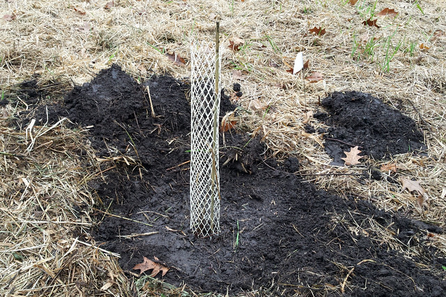 newly planted bur oak tree enclosed by a plastic mesh tube, with dead grass around