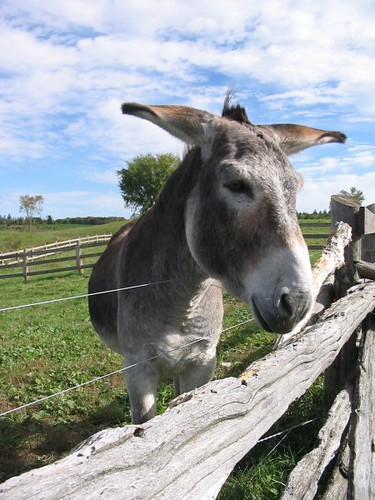 Donkeys U2019 Ears Are So Expressive