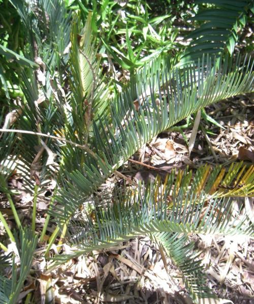 Encephalartos friderici-guilielmi 31778396045_649531bda5_o