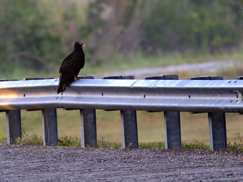 Turkey Vulture on fence 20170105