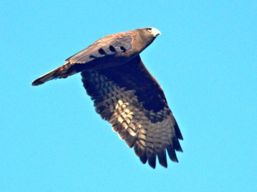 Short-tailed Hawk 04-20161231