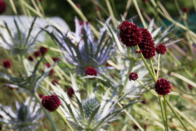 Sanguisorba officinalis PAB 874 'Tsetseguun' and Eryngium x z. 'Forncett Ultra' at Avondale Nursery 19 June 2015.jpg