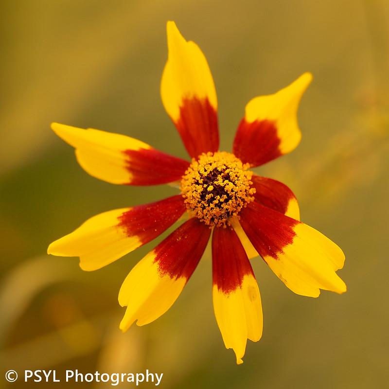 Dwarf Plains Coreopsis (Coreopsis tinctoria)