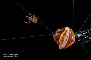 Orb weaver spider (Cyrtarachne sp.) - DSC_6872