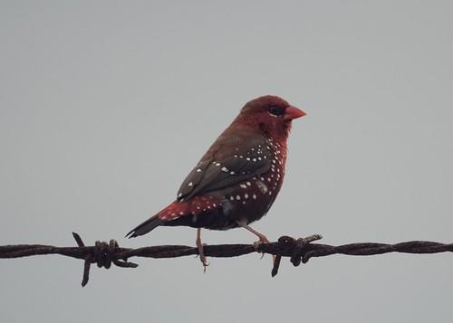Red Avadavat (Red Munia, Strawberry Finch)