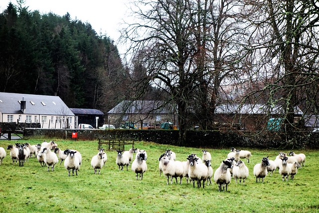 Meadow with sheep in centre of Langholm