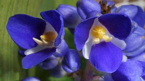Dichorisandra thyrsiflora - gingembre bleu 22899752845_490f47ecd5