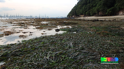 Tape seagrass (Enhalus acoroides) and Spoon seagrass (Halophila ovalis) and Sickle seagrass (Thalassia hemprichii)