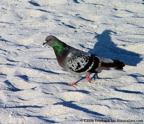 Rock Pigeon | by Laura Erickson