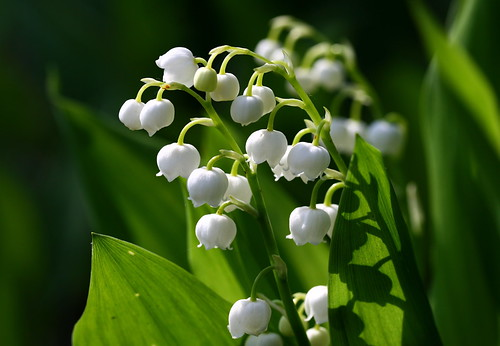 lily of the valley | by Muffet
