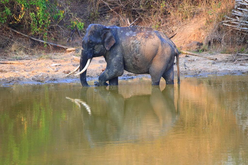 Tusker reflecting