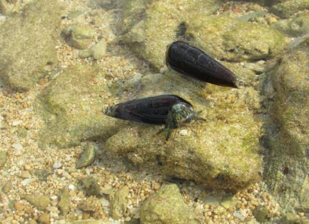 beberapa jenis siput yang banyak di pulau karang di sisi kanan