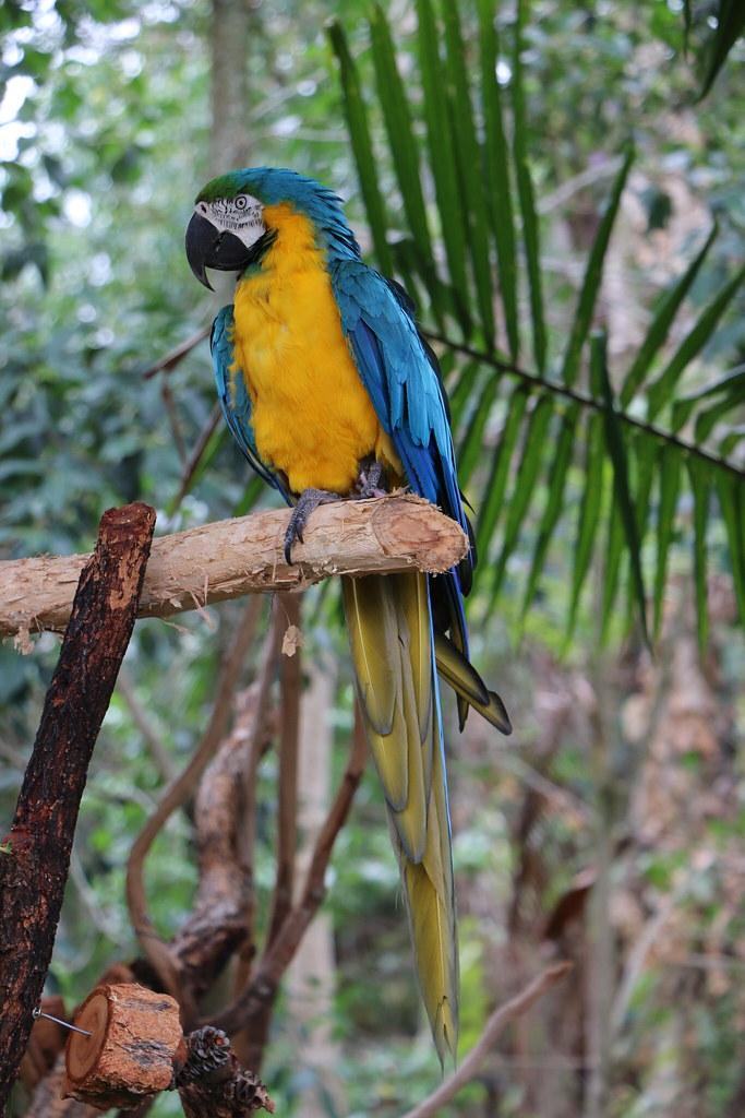 Macaw - Australia Zoo