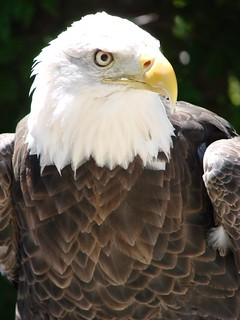bald eagle | by mlberman25