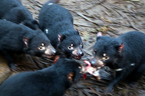 Tasmanian Devil Dinner | by Two Big Paws