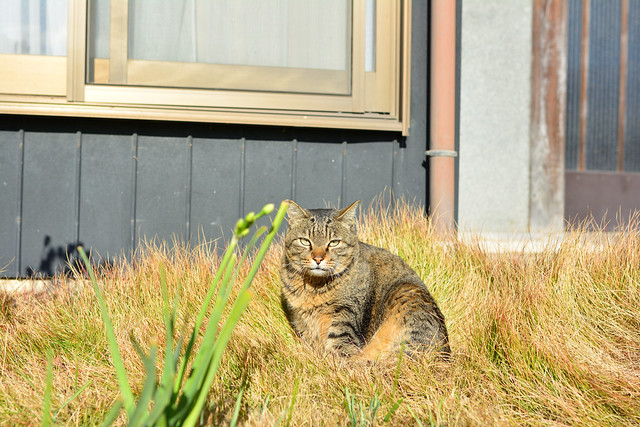 民家の軒先でくつろぐネコの写真